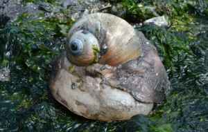 Vashon Nature Center - Moonsnail