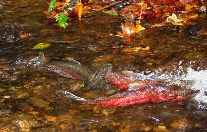 Vashon Nature Center - Salmon