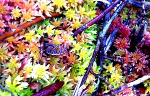 Vashon Nature Center - Sphagnum