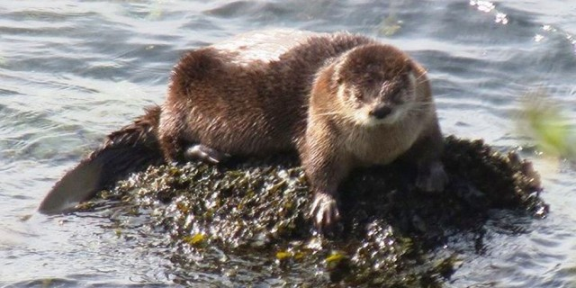 Otter - Vashon Nature Center