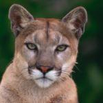 LWW_cougar