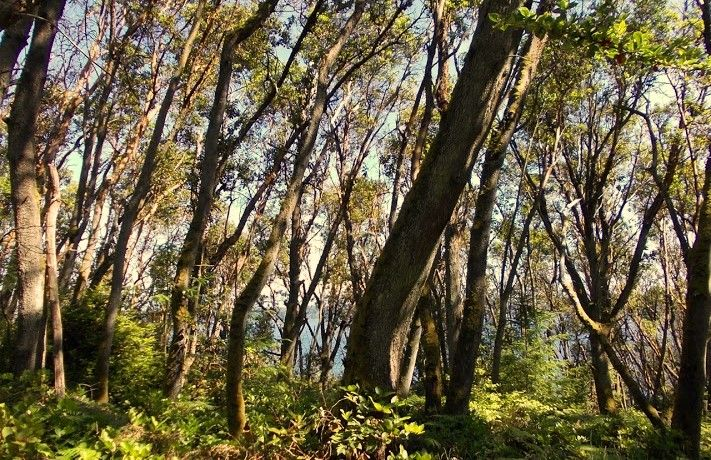 Pacific madrone forest Maury Island. photo by: Diane Emerson