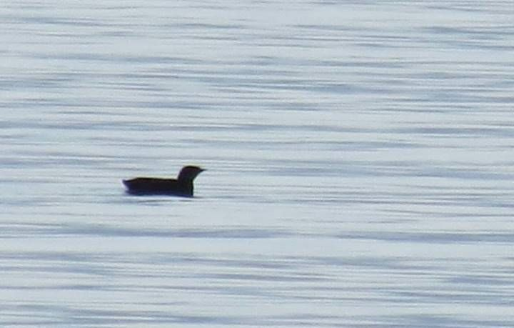 VNC_Marbled_Murrelet_SLBottoms
