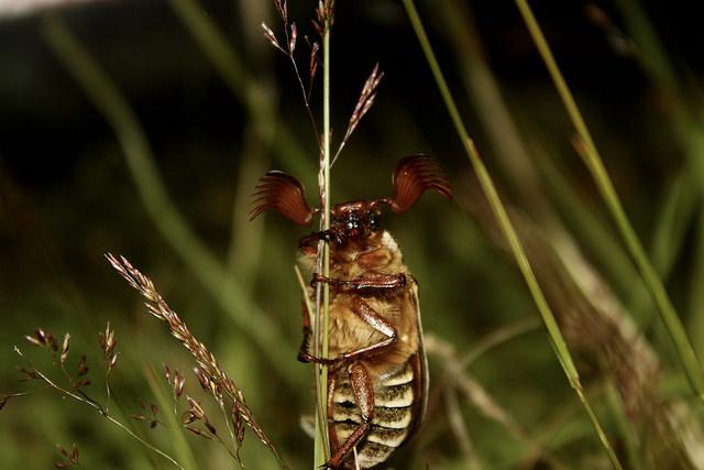 June beetle_AHinden-Stevenson