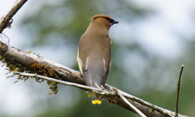 VNC_waxwing_Knowler